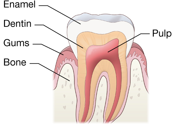 Anatomy of a tooth including the pulp